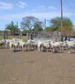 La provincia aprobó proyectos de desarrollo ovino y caprino por 9,5 millones de pesos